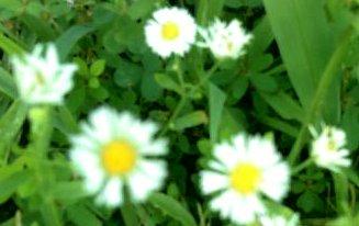 Tiny daisys