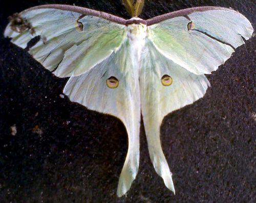 Moth or fairy